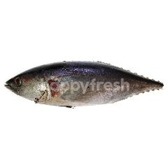 Saba Mackerel