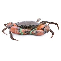 XXL Mud Crab (Live/Unclean)