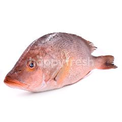 Red Snapper Whole (Ikan Merah)